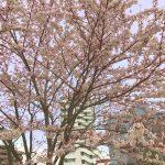 葛飾区白鳥の桜の詳細へ