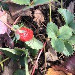 苺の詳細へ