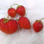 苺の収穫との詳細へ
