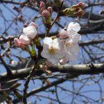 桜咲くの詳細へ