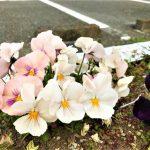 ソーシャルディスタンスの中のお花見 新島モデルハウスの詳細へ
